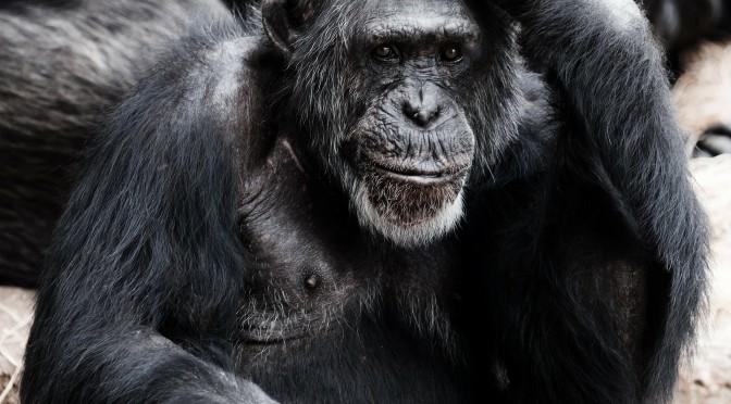 an ape thinking - a human thinking