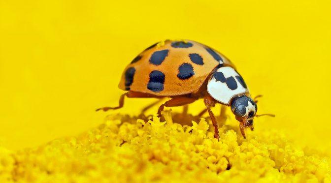 ladybird, marienkäfer auf einer Blüte